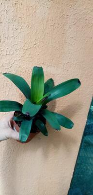 Vriesea bituminosa - 3