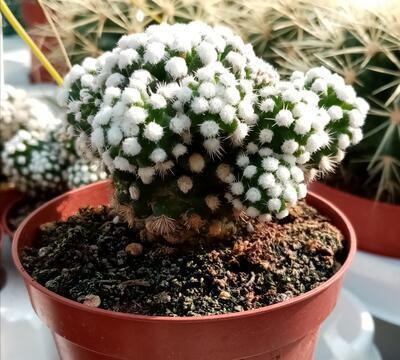 Mammillaria gracilis v. fragilis f. monstrosa 'Arizona Snowcap' - 3