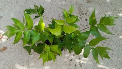 Cyrtomium falcatum (kapradina) - 3