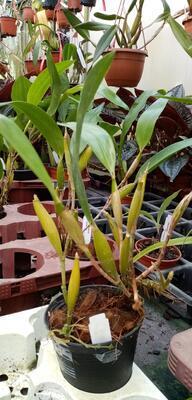 Flickingeria fimbriata - 3