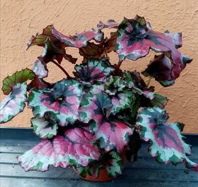 Begonia rex #7 (velký trs) - 3