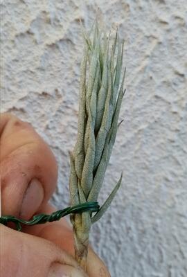 Tillandsia kirschnekii - 3