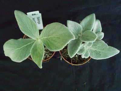 Sinningia leucotricha - 3