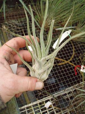 Tillandsia pruinosa f. Colombia - 3