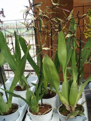Kvetoucí orchidej Brassia - 3