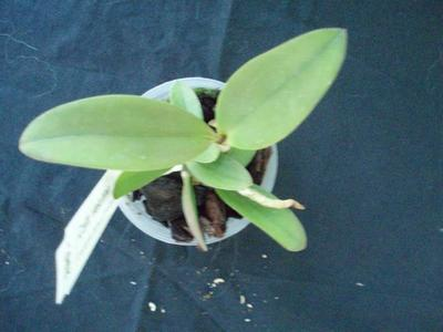 Cattleya velutina - 3