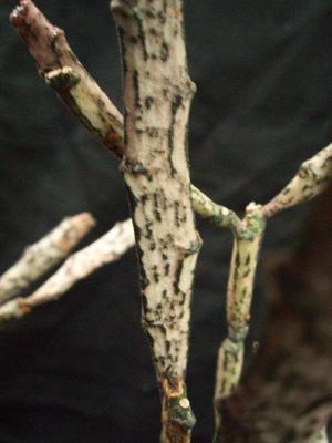Euphorbia platyclada - 3