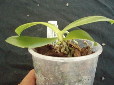 Phalaenopsis floresensis - 3