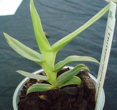 Thrixpermum pensile - 3