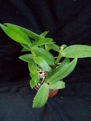 Dendrobium antennatum - 3