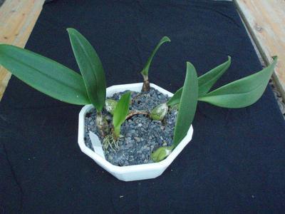 Bulbophyllum rigidum - 3
