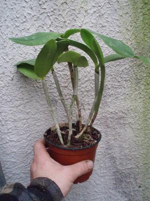 C. intermedia 'Orlata' x 'Aquinii' - 3