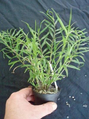 Dendrobium auriculatum - 3