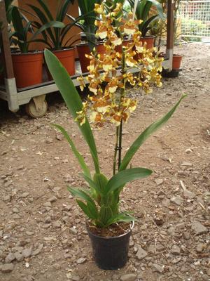 Kvetoucí orchidej Cambria #9 - 3