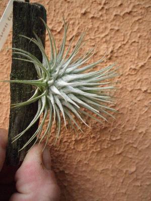 Tillandsia fuchsii v. fuchsii - 3