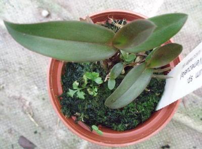 Epidendrum sp. (Roraima, Venezuela) - 3