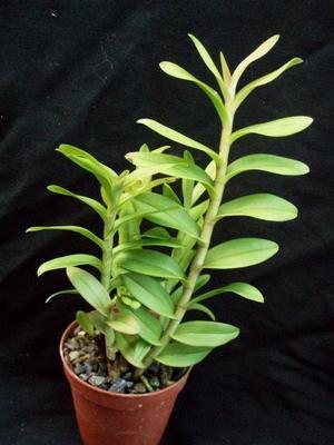 Epidendrum capricornu - 3