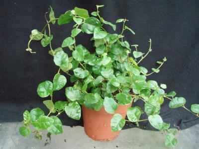 Ficus pumila - 3