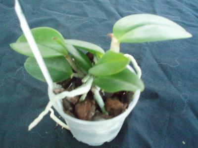 Cattleya leopoldii - 3