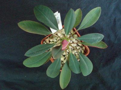 Euphorbia pachypodioides - 3