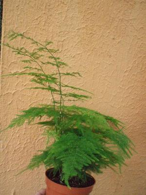 Asparagus plumosus - 3
