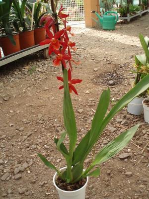 Laelia tenebrosa - 3