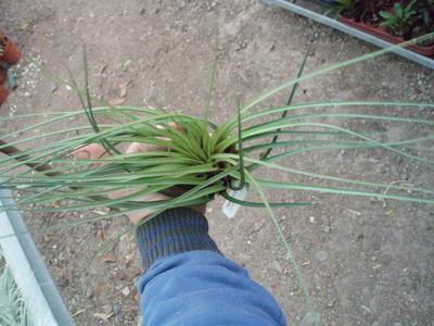 Tillandsia crista-gallii (velká) - 3