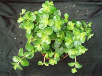 Peperomia rotundifolia - 3