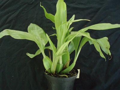 Gongora aromatica - 3