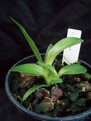 Cattleya bicolor (mladá rostlina) - 3