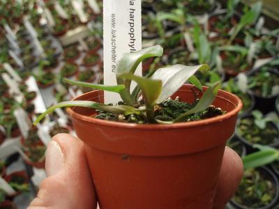 Laelia harpophylla - 3