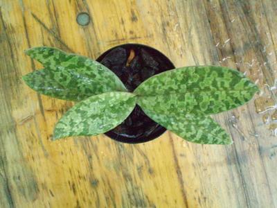 Paphiopedilum wardii - 3