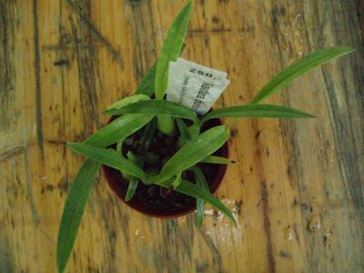Maxillaria schunkeana - Černá orchidej - 3