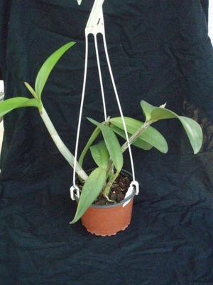 Schomburgkia crispa x Cattleya forbesii - 3