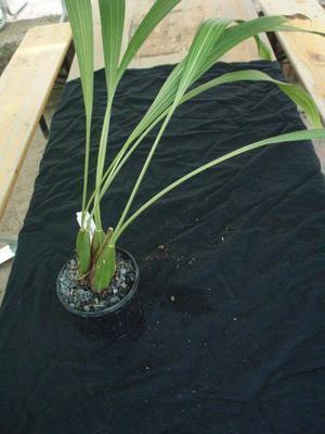 Ida trifoliata - 3