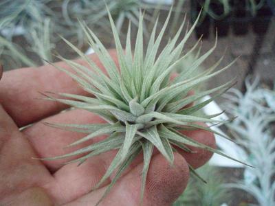 Vriesea espinosa - 3