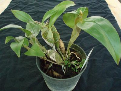 Dendrobium lamellatum - 3