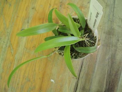 Bulbophyllum odoratissimum - 3
