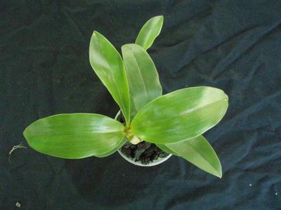 Dendrobium palpebrae - 3