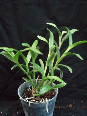 Epidendrum trialatum - 3