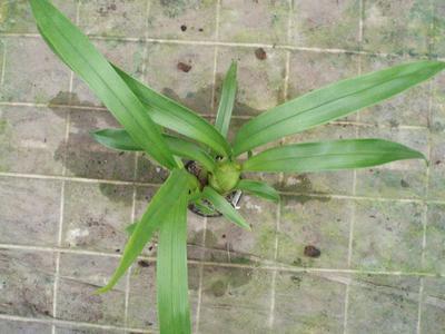 Pinalia floribunda - 3