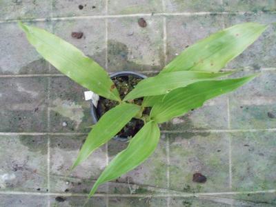 Maxillaria ubatubana - 3