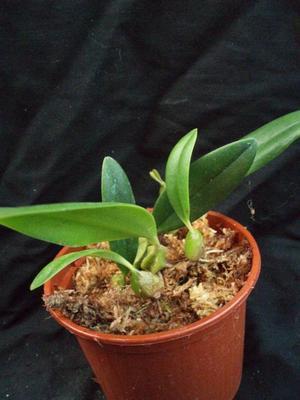 Bulbophyllum miniatum (menší trs) - 3