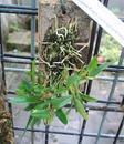 Diplocaulobium chrysotropis - 3/3