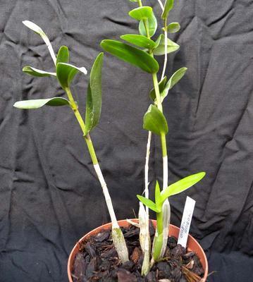 Dendrobium crumenatum - 3