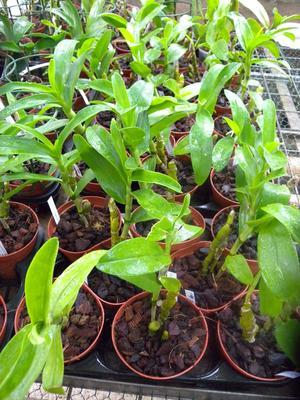 Dendrobium Red Emperor - 3