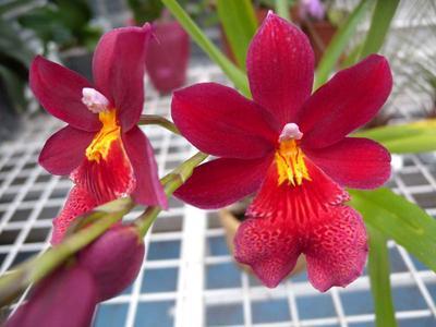 Orchidej pro začátečníky - Cambria/Oncidium a příbuzné rody - 3