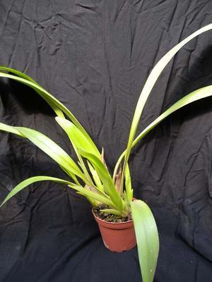 Eria iridifolia - 3