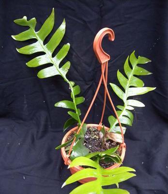 Marniera chrysocardium - velká rostlina - 3