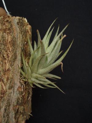 Tillandsia loliacea - 3